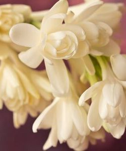 140190479-white-tuberose-flowers-red-backdrop