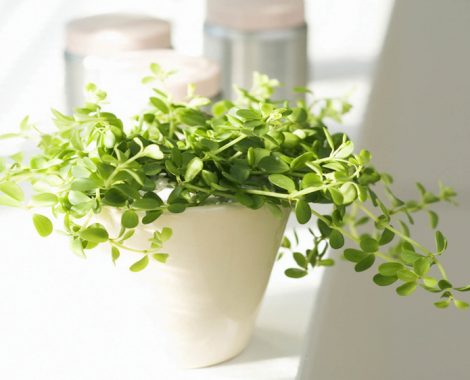 pngtree-Herb-Plant-Basil-Vascular-Plant-background-photo-769858